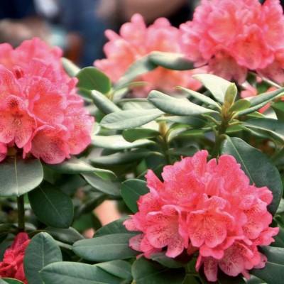 PROFESIONÁLNÍ SUBSTRÁT - rododendrony, azalky a vřesovištní rostliny