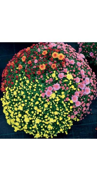 PROFESIONÁLNÍ SUBSTRÁT - pro chryzantémy se zvýšeným obsahem živin